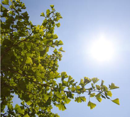 Le 17 mai 2017, le 100 000ème arbre sera un Gingko Biloba